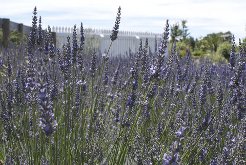 Lavender Hydrosol - 1 Litre - Distilled from L.angustifolia 2016