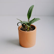 Load image into Gallery viewer, Leopard Plant + Terra-cotta Heaven
