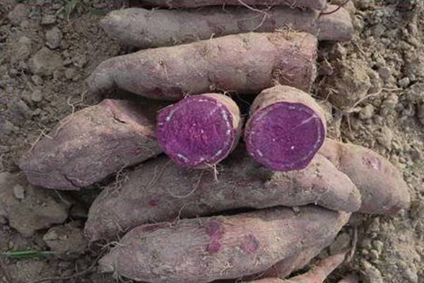 Greater yam ( Kaacchil seeds , selected) - Food Care INDIA