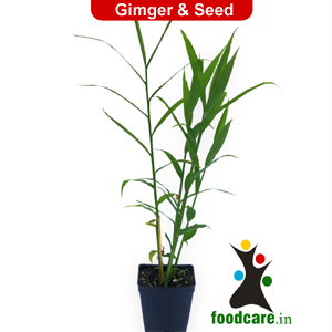 Ginger Plant - Food Care INDIA