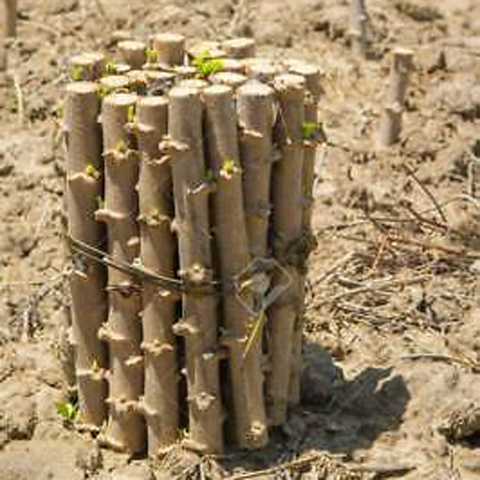 Tapioca Sticks( Planting Materials ) -25 Stick - Food Care INDIA