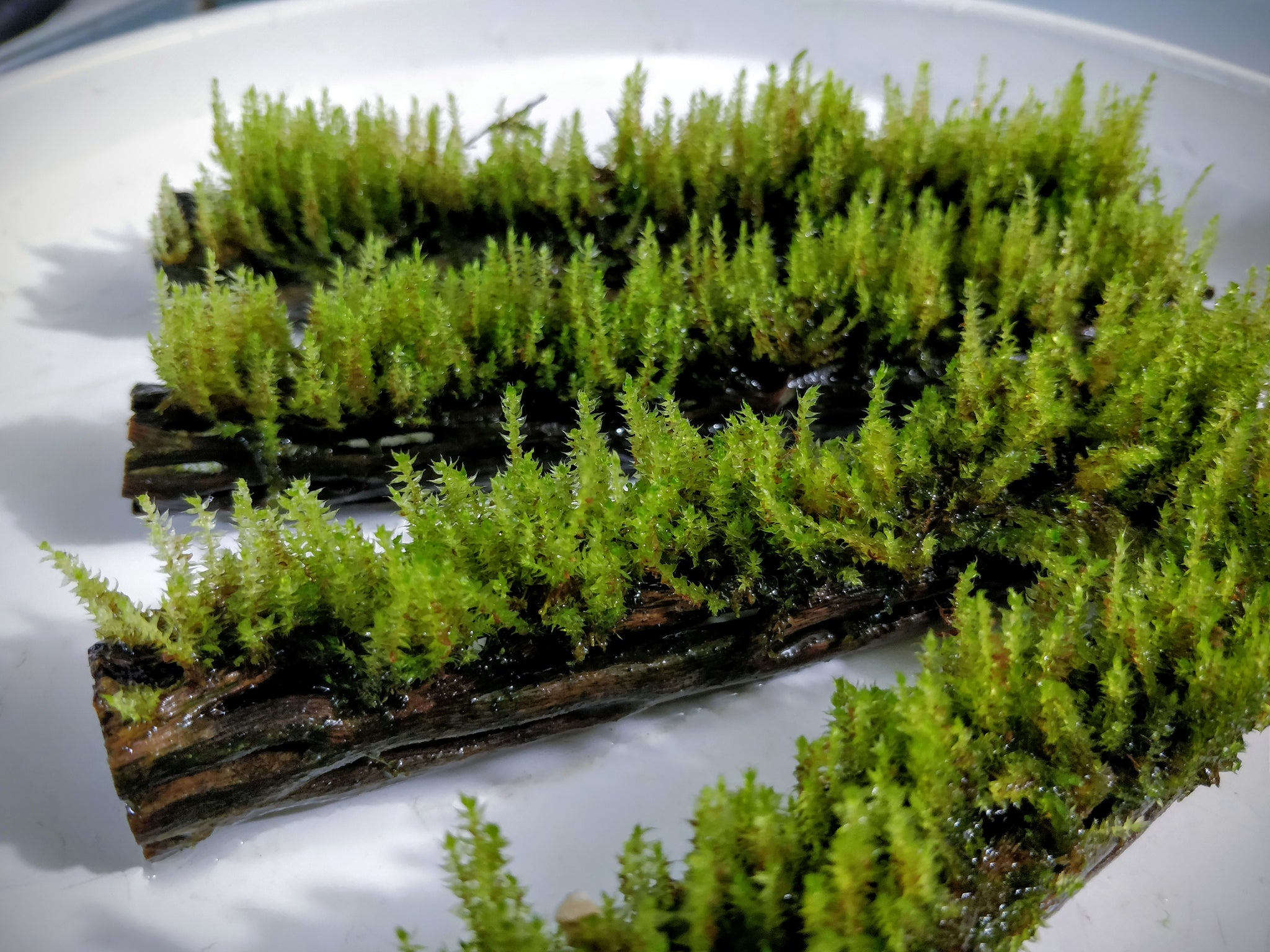 Java Moss on Cholla Wood