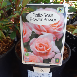 Patio Roses Winter/Spring Collection
