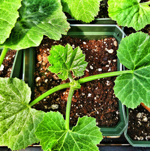 Summer Squash - White Vegetable Marrow (Lg Seedling)
