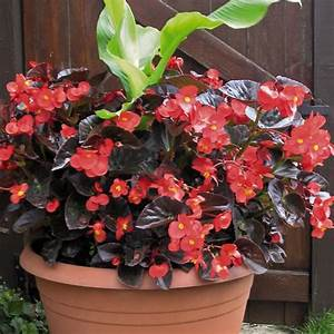 "BEGONIA BIG WITH BRONZE LEAF - 4.5"" - Springbank Greenhouses"
