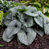 BRUNNERA QUEEN OF HEARTS (SIBERIAN BUGLOSS) - 1 Gallon - Springbank Greenhouses