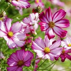 "COSMOS PEPPERMINT CANDY - 4.5"" - Springbank Greenhouses"