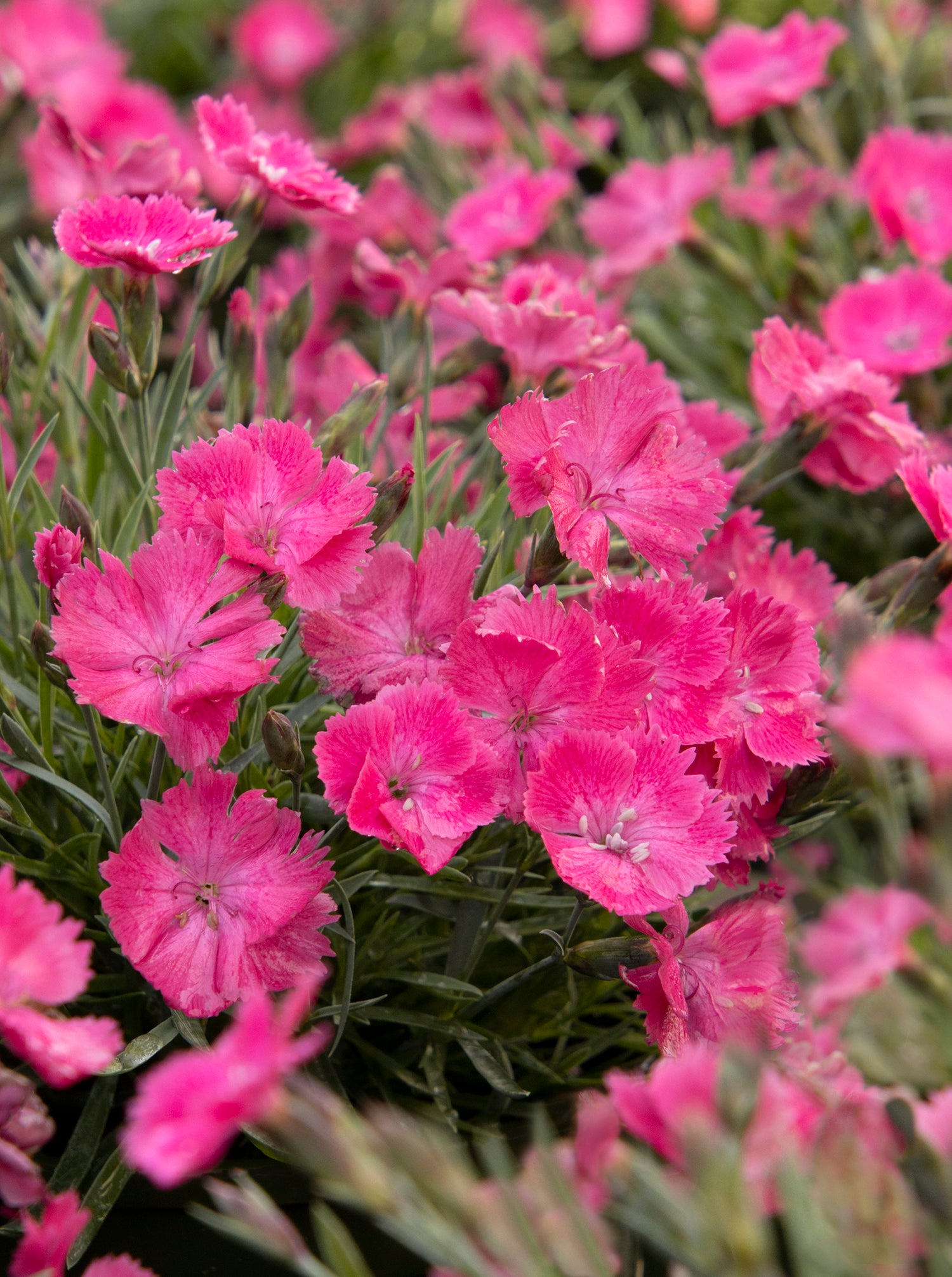 DIANTHUS BRIGHT LIGHT (VIVID) - Springbank Greenhouses