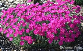 "DIANTHUS NEON STAR - 5.5"" - Springbank Greenhouses"