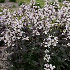 PENSTEMON ONYX AND PEARLS (BEARD-TONGUE) - 1 Gallon - Springbank Greenhouses