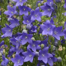 PLATYCODON FUJI BLUE (BALLOON FLOWER) - 1 Gallon - Springbank Greenhouses
