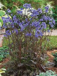 POLEMONIUM PURPLE RAIN (JACOB'S LADDER) - 1 Gallon - Springbank Greenhouses