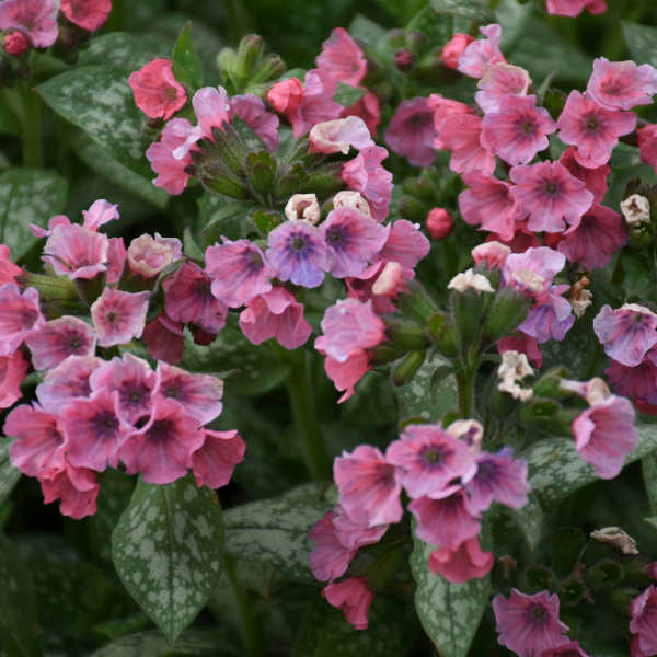 "PULMONARIA PRETTY IN PINK (LUNGWORT) - 5.5"" - Springbank Greenhouses"