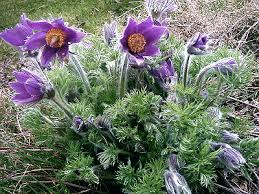 PULSATILLA VULGARIS (PASQUE FLOWER) - Quart - Springbank Greenhouses