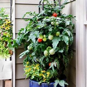 "TOMATO BETTER BUSH - PATIO POT SIZE - 12"" - Springbank Greenhouses"
