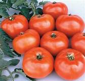 "TOMATO - JETSTAR (BEEFSTEAK LIKE VARIETY) - 4"" and 5.5"" - Springbank Greenhouses"
