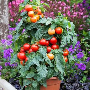 "TOMATO SUMMERLAST - PATIO POT SIZE - 12"" - Springbank Greenhouses"