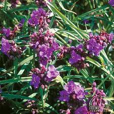 TRADSCANTIA CONCORD GRAPE (SPIDERWORT) - 1 Gallon - Springbank Greenhouses