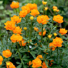 TROLLIUS GOLDEN QUEEN (GLOBEFLOWER) - 1 Gallon - Springbank Greenhouses