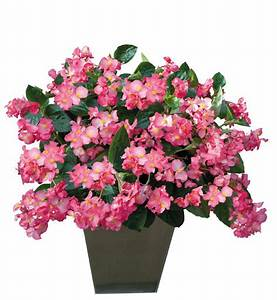 "BEGONIA BIG PATIO PLANTERS - CONTAINER IS 14"" (35cm) WIDE AND 9"" (23cm) DEEP - Springbank Greenhouses"