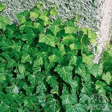 "IVY - ENGLISH - HEDERA HELIX - 4"" - Springbank Greenhouses"