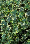 "Copy of IVY - ENGLISH - HEDERA HELIX YELLOW VARIGATED - 4"" - Springbank Greenhouses"