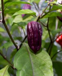 "PEPPER - GHOST PURPLE- 4"" - Springbank Greenhouses"