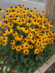 RUDBECKIA GOLDSTURM (BLACK EYED SUSAN) - 1 Gallon - Springbank Greenhouses