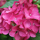 Hydrangea Macrophylla Tree Collection - zedhouses