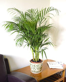 Indoor Plant -House or Office Plant Areca Palm | ZedHouses