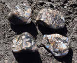 TURRITELLA Agate Fossil Stone - Akashic Records, Wisdom of the Ancestors & Past Lives