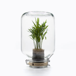 PIKAPLANT Jar Chamaedorea  - Plantkeeping made easy!
