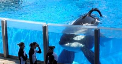 orca killer whale captive in a concrete tank watched by a group of 3 distressed trainers