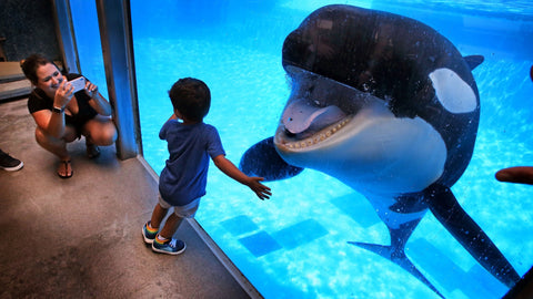 Small child and his parents laugh together watching an orca killer whale captive in a concrete tank with his mouth wide open