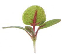 Micro Sorrel Red Veined