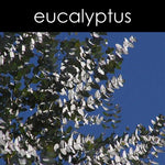 Load image into Gallery viewer, EUCALYPTUS