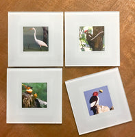 Steven Schwab - Set/4 Glass Coasters Bird Photos taken in Beverly Shores