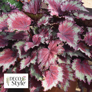 Begonia Rex Jurassic Red Splash - 14 cm