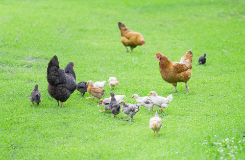 The Truth About Inferior Grain Fed Eggs Natural Stacks