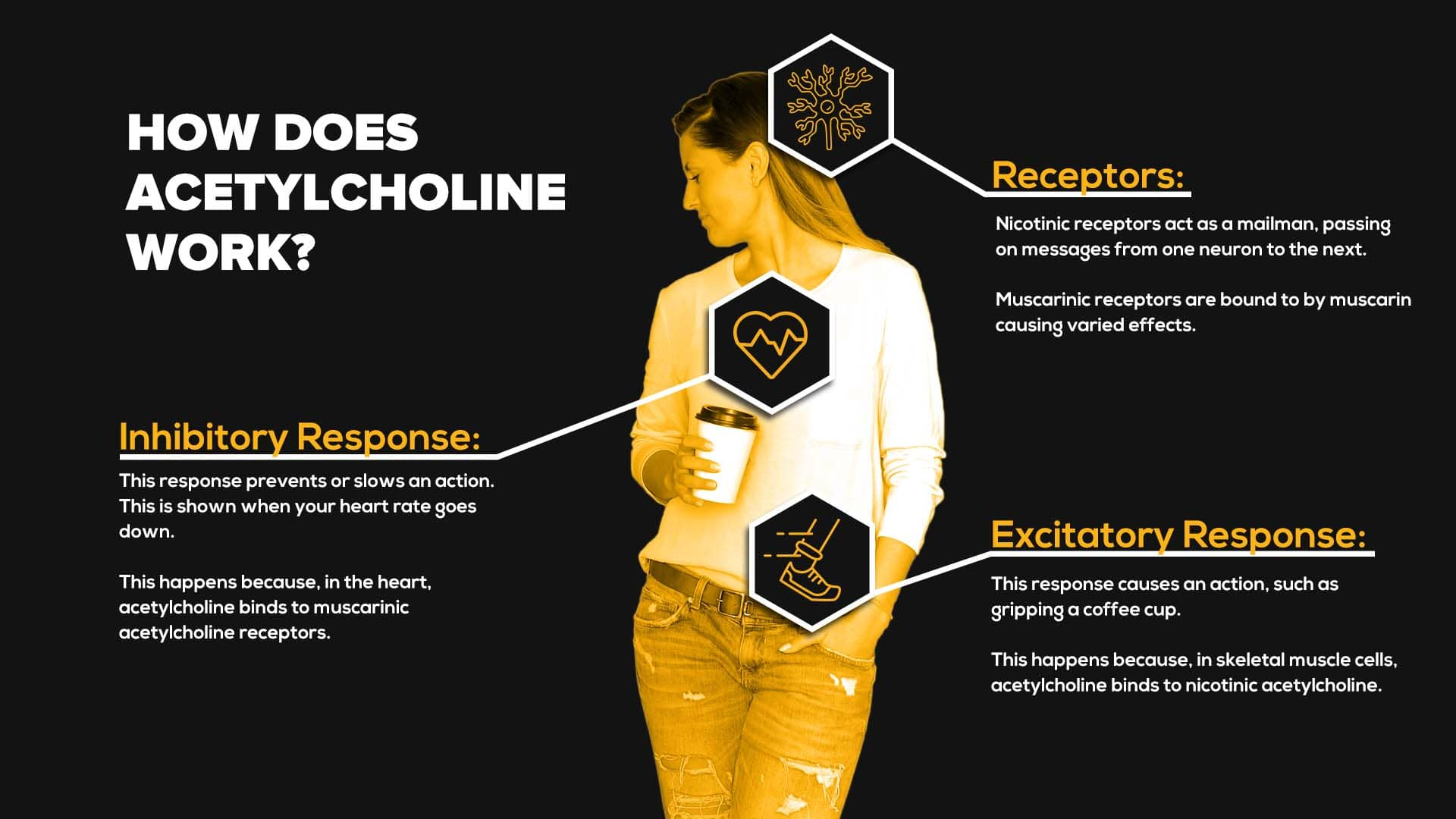 How Does Acetylcholine Work?