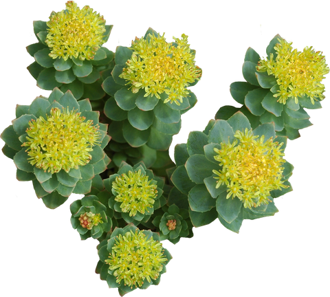 Rhodiola Rosea Natural Stacks