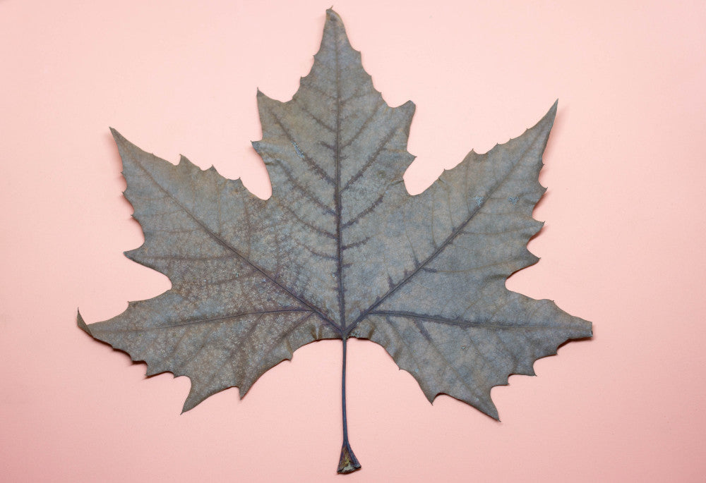 Autumn Leaf with pink background