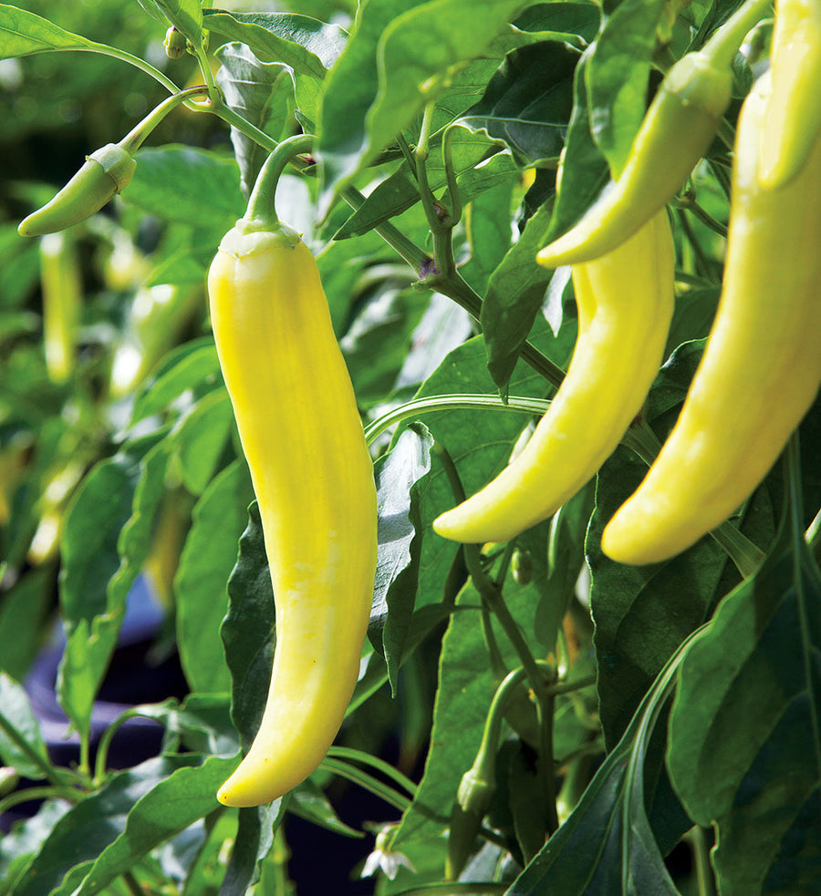 Sweet & Hot Banana Peppers