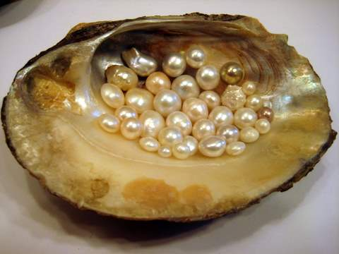 Pearls freshwater and clam shell