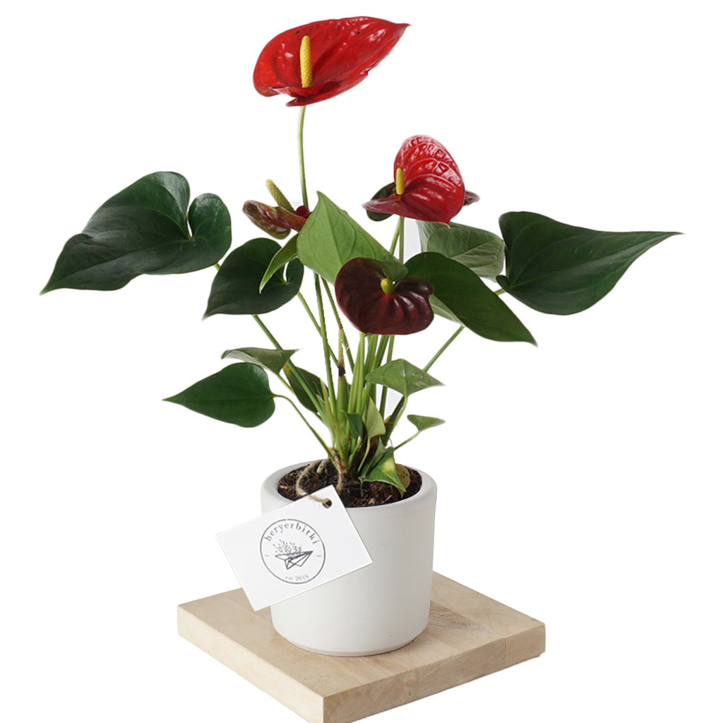 Anthurium Royal (Antoryum) Bitkisi