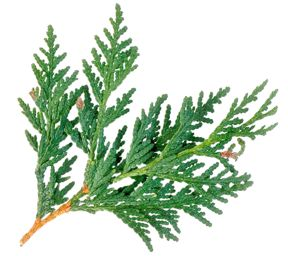 COVID-19 RELIEF: FREE CEDAR LEAF Still available for essential workers, and low income earners in high risk groups