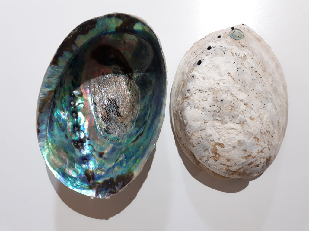 Abalone Shell 03 Blue Paua (Haliotis Iris) Medium 12-14 cm (1 pc)