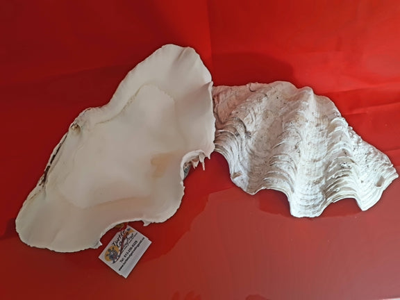 "SHELL - Ruffled Clam 11-12"" / 28-30 cm"