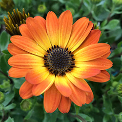 Osteospermum Marguerite Orange Flare