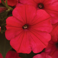 Petunia ColorRush Watermelon